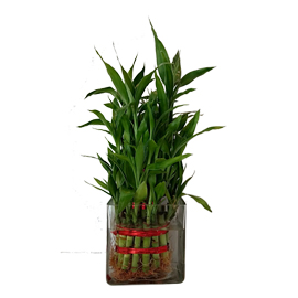 buy 3 layer lucky bamboo in vase same day delivery in kanpur